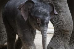 Elefant-Otto_Hellabrunn_2020_Navin-Adami