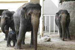 Elefantenkuehe-mit-Otto_Hellabrunn_2020_Navin-Adami