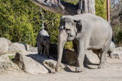 Elefant-Otto-erkundet-die-Aussenanlage-10-von-21