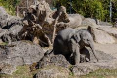Elefant-Otto-erkundet-die-Aussenanlage-11-von-21
