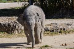 Elefant-Otto-erkundet-die-Aussenanlage-2-von-21