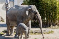 Elefant-Otto-erkundet-die-Aussenanlage-3-von-21