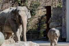 Elefant-Otto-erkundet-die-Aussenanlage-5-von-21