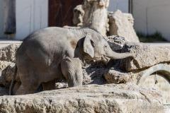 Elefant-Otto-erkundet-die-Aussenanlage-7-von-21