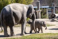 Elefant-Otto-erkundet-die-Aussenanlage-8-von-21