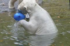 Die-neue-Eisbaeren-Weibchen-Gruppe-in-Hellabrunn-13