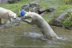 Die-neue-Eisbaeren-Weibchen-Gruppe-in-Hellabrunn-14