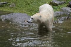 Die-neue-Eisbaeren-Weibchen-Gruppe-in-Hellabrunn-15