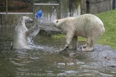 Die-neue-Eisbaeren-Weibchen-Gruppe-in-Hellabrunn-16
