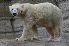 Die-neue-Eisbaeren-Weibchen-Gruppe-in-Hellabrunn-17