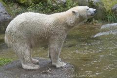 Die-neue-Eisbaeren-Weibchen-Gruppe-in-Hellabrunn-19