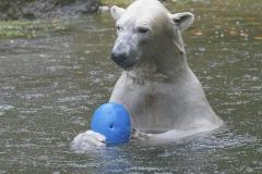Die-neue-Eisbaeren-Weibchen-Gruppe-in-Hellabrunn-20