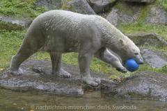 Die-neue-Eisbaeren-Weibchen-Gruppe-in-Hellabrunn-21