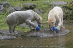 Die-neue-Eisbaeren-Weibchen-Gruppe-in-Hellabrunn-22