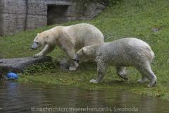 Die-neue-Eisbaeren-Weibchen-Gruppe-in-Hellabrunn-23