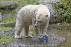 Die-neue-Eisbaeren-Weibchen-Gruppe-in-Hellabrunn-26