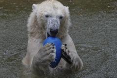 Die-neue-Eisbaeren-Weibchen-Gruppe-in-Hellabrunn-27