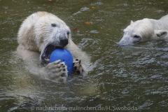 Die-neue-Eisbaeren-Weibchen-Gruppe-in-Hellabrunn-28