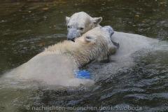 Die-neue-Eisbaeren-Weibchen-Gruppe-in-Hellabrunn-29