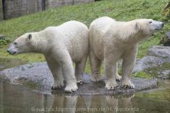 Die-neue-Eisbaeren-Weibchen-Gruppe-in-Hellabrunn-3
