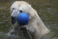 Die-neue-Eisbaeren-Weibchen-Gruppe-in-Hellabrunn-30
