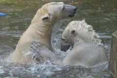 Die-neue-Eisbaeren-Weibchen-Gruppe-in-Hellabrunn-31
