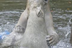 Die-neue-Eisbaeren-Weibchen-Gruppe-in-Hellabrunn-32