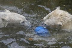 Die-neue-Eisbaeren-Weibchen-Gruppe-in-Hellabrunn-33