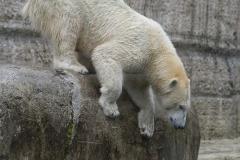 Die-neue-Eisbaeren-Weibchen-Gruppe-in-Hellabrunn-34