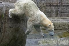Die-neue-Eisbaeren-Weibchen-Gruppe-in-Hellabrunn-35