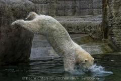 Die-neue-Eisbaeren-Weibchen-Gruppe-in-Hellabrunn-36