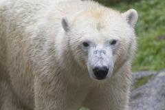 Die-neue-Eisbaeren-Weibchen-Gruppe-in-Hellabrunn-4
