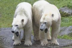 Die-neue-Eisbaeren-Weibchen-Gruppe-in-Hellabrunn-5