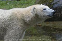 Die-neue-Eisbaeren-Weibchen-Gruppe-in-Hellabrunn-6
