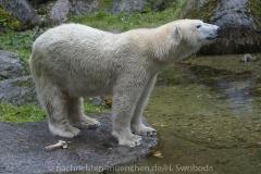 Die-neue-Eisbaeren-Weibchen-Gruppe-in-Hellabrunn-7