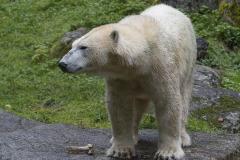 Die-neue-Eisbaeren-Weibchen-Gruppe-in-Hellabrunn-8