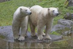 Die-neue-Eisbaeren-Weibchen-Gruppe-in-Hellabrunn
