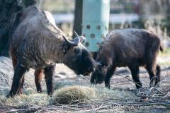 Mishmi-Takins (Budorcas taxicolor taxicolor) stoeberen am Dienstag (30.03.2021) im Tierpark Hellabrunn in Muenchen durch ein Osternest.