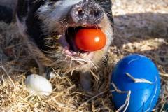 Kune Kune Schwein (Sus scrofa domesticus) Frieda stoebert am Dienstag (30.03.2021) im Tierpark Hellabrunn in Muenchen durch ein Osternest.
