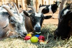 Westafrikanische Zwergziegen (Capra aegagrus hircus) stoebern am Dienstag (30.03.2021) im Tierpark Hellabrunn in Muenchen durch ein Osternest.