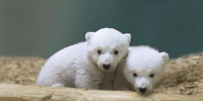 Eisbärbabys Nela und Nobby im Februar 2014 - Foto: Marc Müller