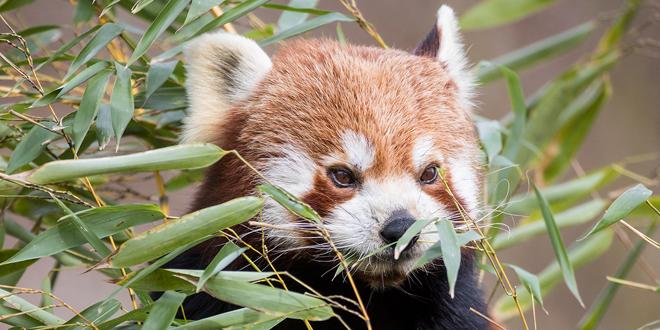 Willkommen, Justin! Neuer Roter Panda im Tierpark Hellabrunn