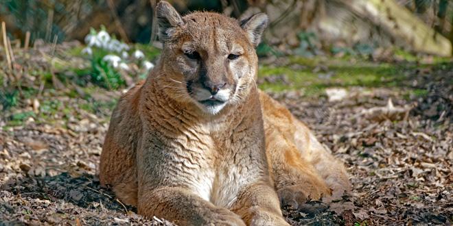 Puma im Tierpark Hellabrunn
