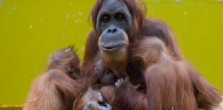 Nachwuchs-Neuigkeiten bei bedrohten Affenarten
