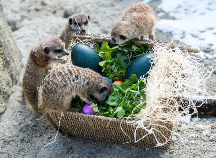 Tierpark Hellabrunn: Bunte Osternester für Erdmännchen und Mähnenwölfe