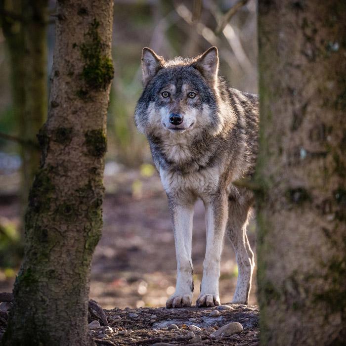 Hellabrunn Feiert Den Wolf Nachrichten M Nchen