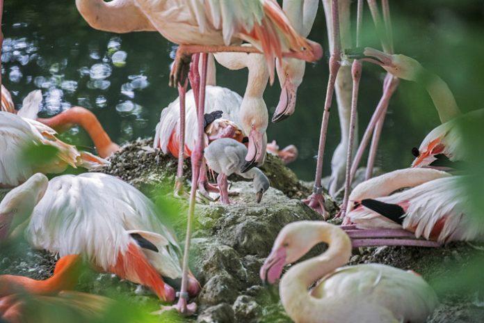 Die ersten Sommer-Vorboten sind geschlüpft – Flamingo-Küken in Hellabrunn