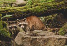 Vier Waschbären wohnen jetzt in Hellabrunn