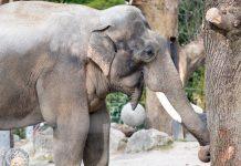 Hellabrunn: Mehr Spannung, Spaß und Spiel für Elefanten