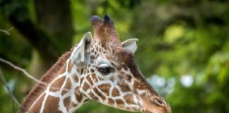 Welt-Giraffen-Tag in Hellabrunn